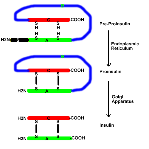 biosynthesis-of-insulin